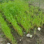 MI regrown wheat